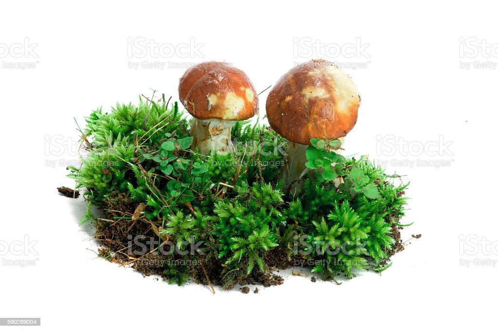 Mushroom in moss isolate stock photo
