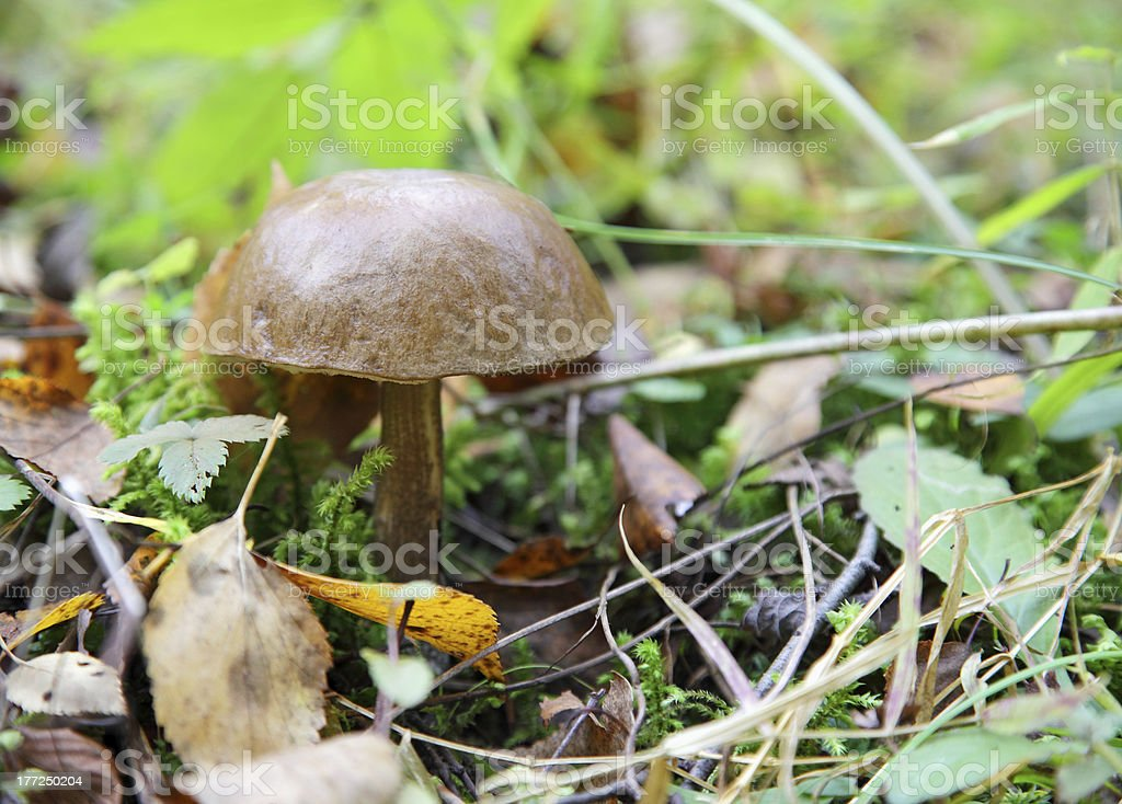 mushroom in the forest royalty-free stock photo