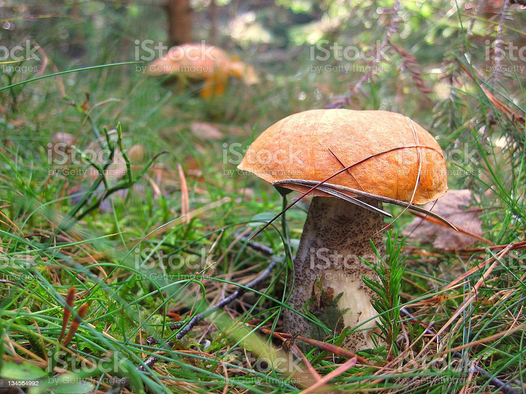 mushroom in the gras royalty-free stock photo