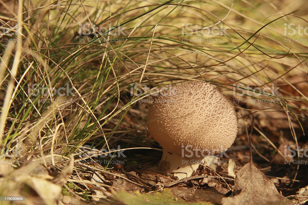 mushroom in the grass. royalty-free stock photo