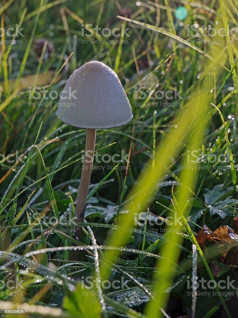 Mushroom in the morning sunlight, Pilz im nassen Gras stock photo