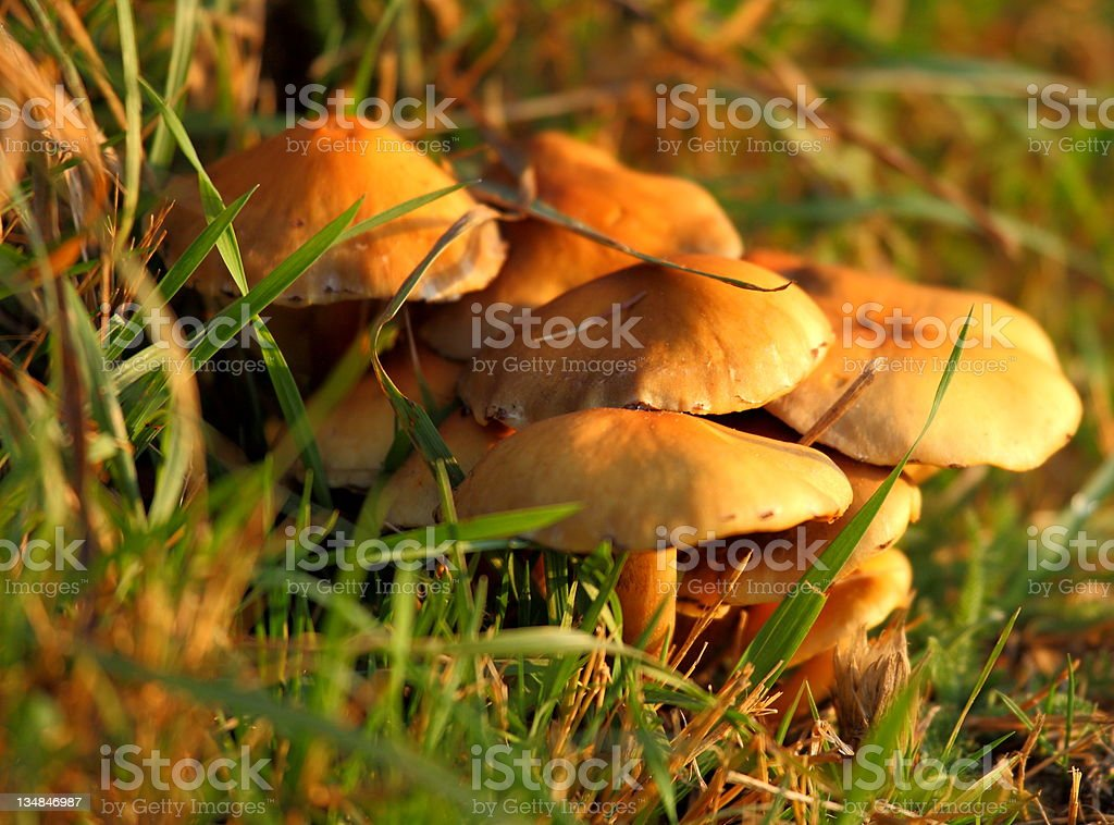 Mushroom in the wood royalty-free stock photo