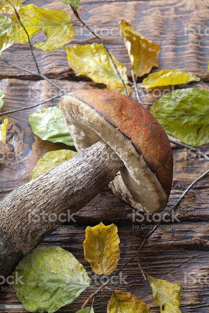 Mushroom Krombholziella Carpini stock photo