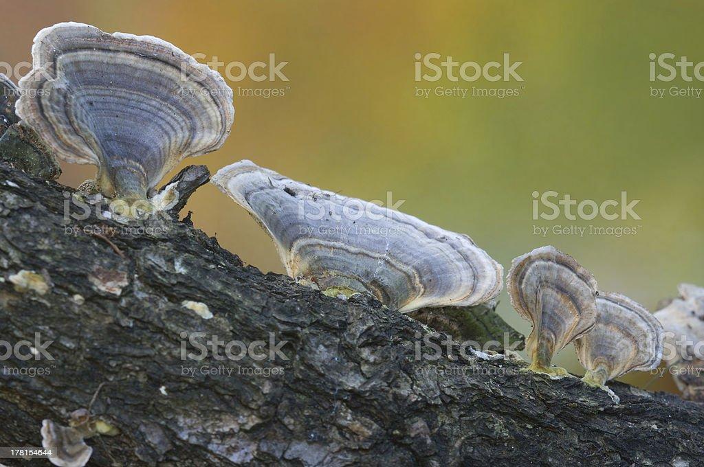 Mushroom(Polyporus) of the autumn. royalty-free stock photo