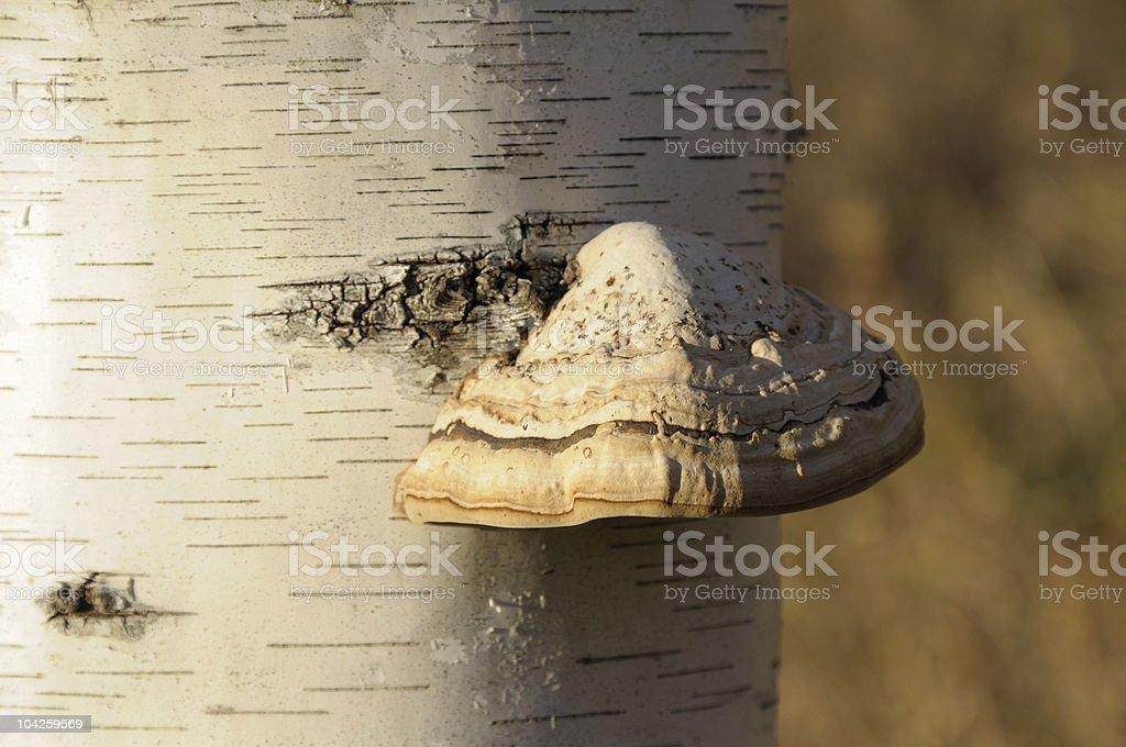 Mushroom on Birch stock photo