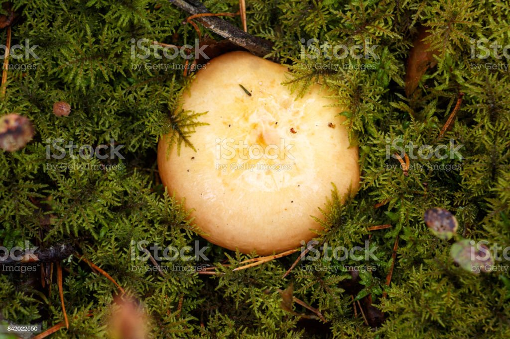 mushroom on green background in autumn forest stock photo