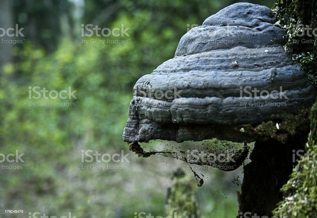 mushroom on the tree. royalty-free stock photo