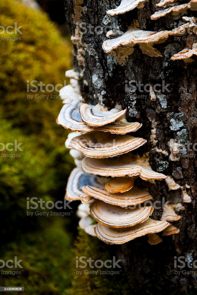 Mushroom on tree - Tramète stock photo