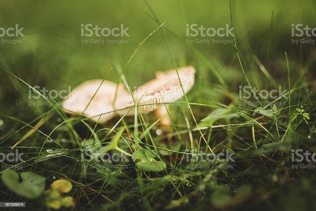 Mushroom on wet field stock photo
