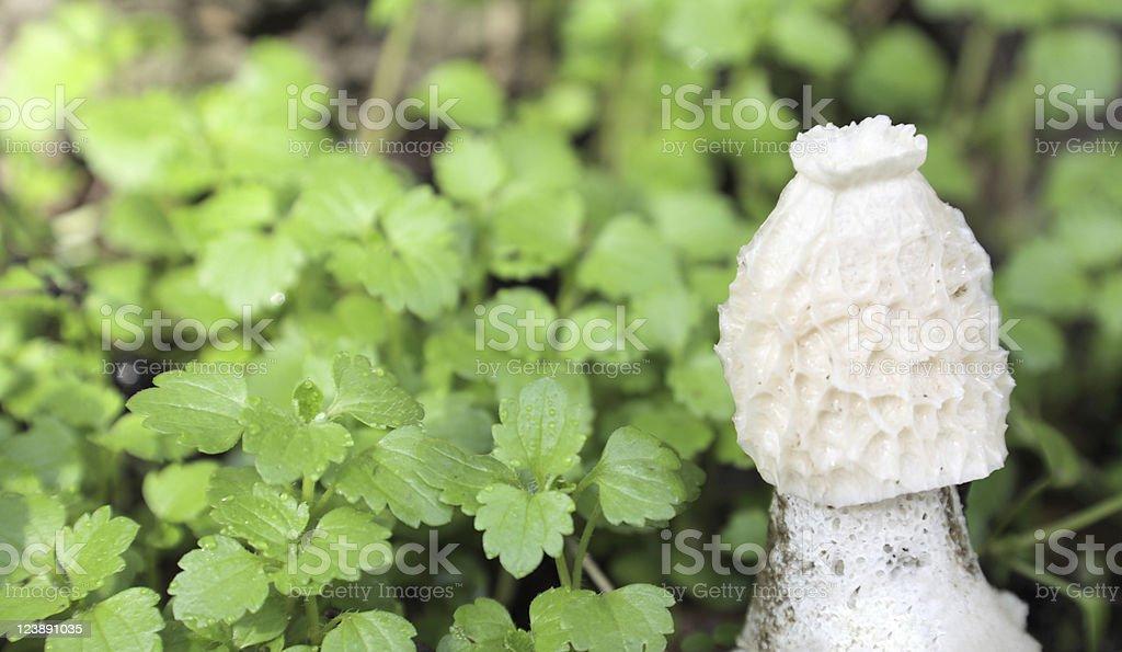 Mushroom Phallus impudicus stock photo
