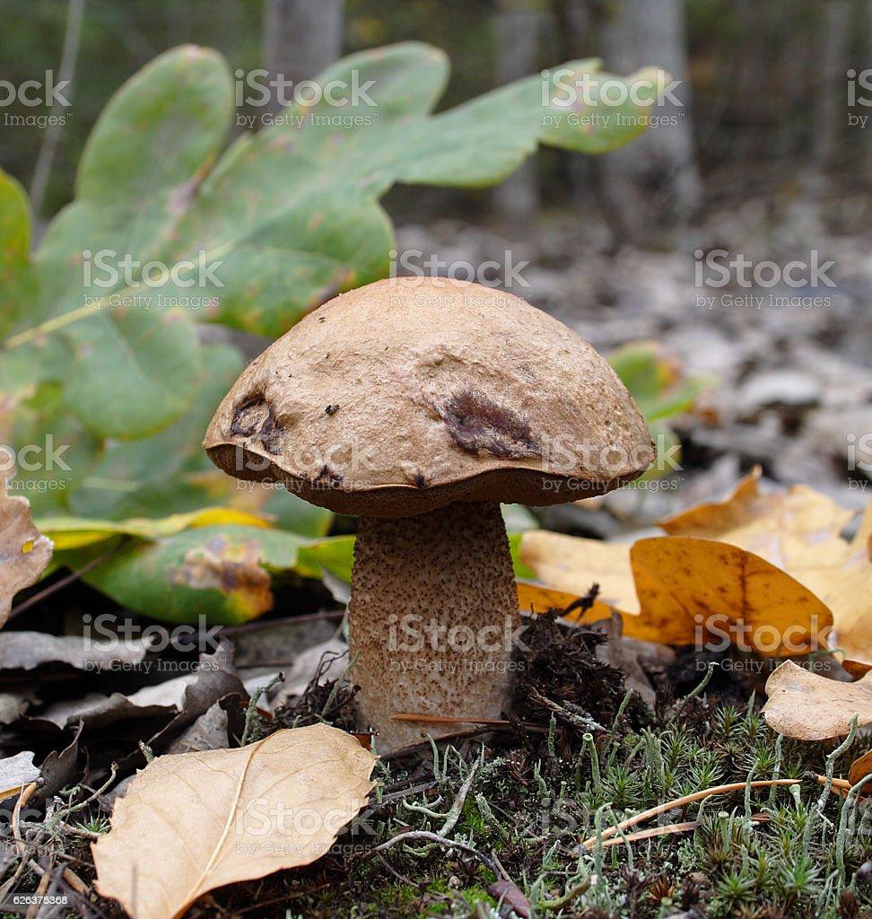 Mushroom royalty-free stock photo