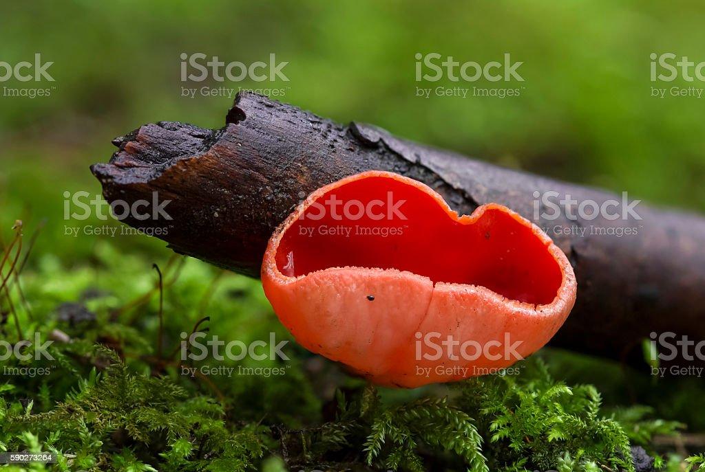 mushroom - scarlet elf cup stock photo