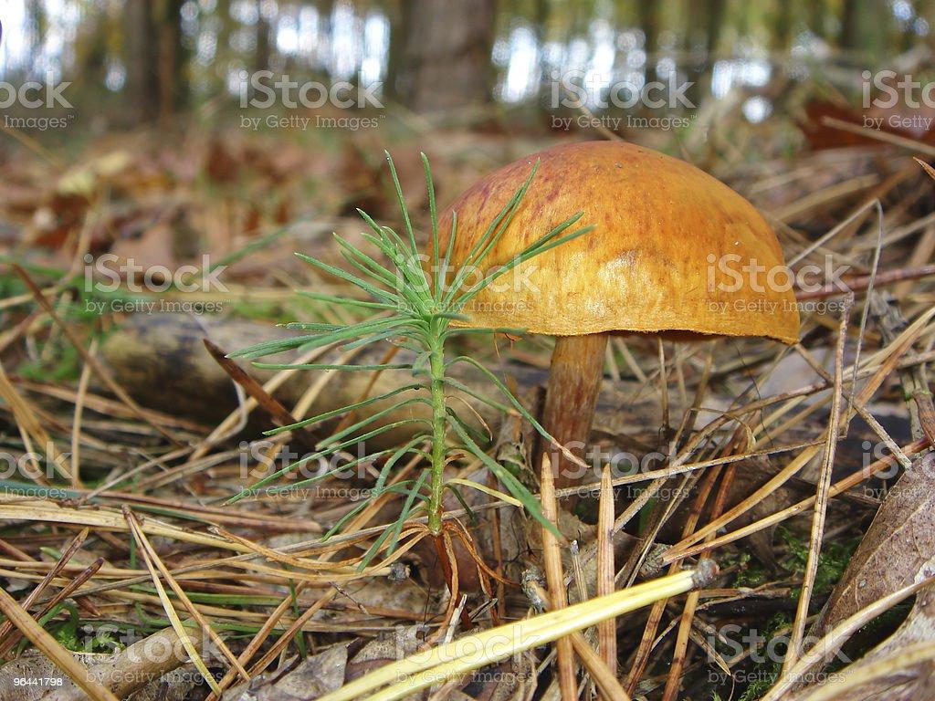 Mushroom-Cortinarius semisanguineus stock photo