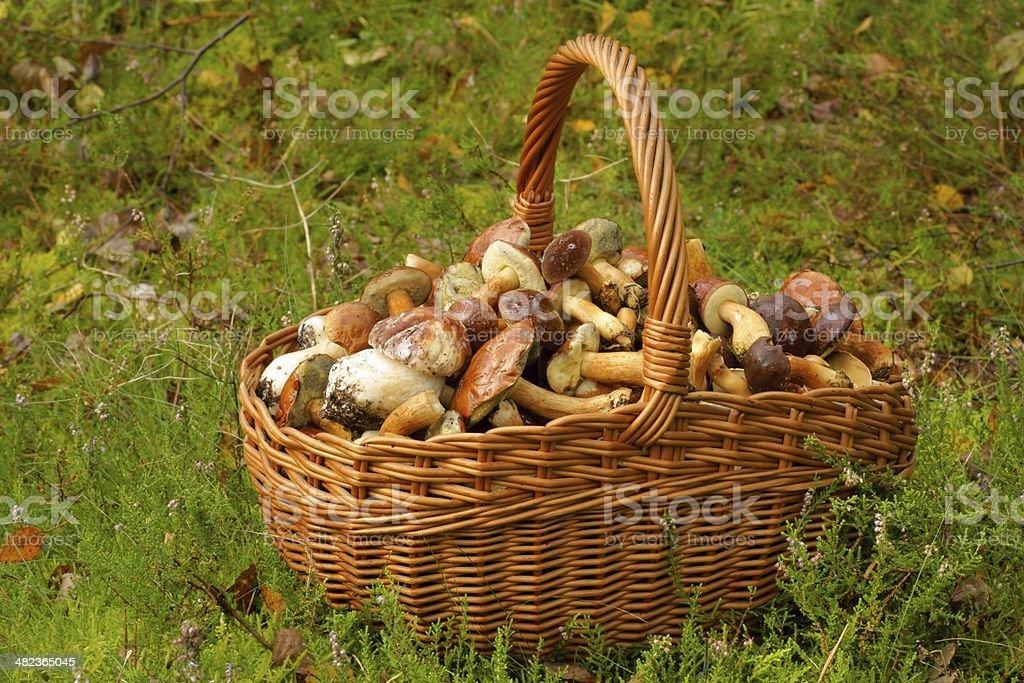 Mushrooming, wicker basket full of mushrooms royalty-free stock photo