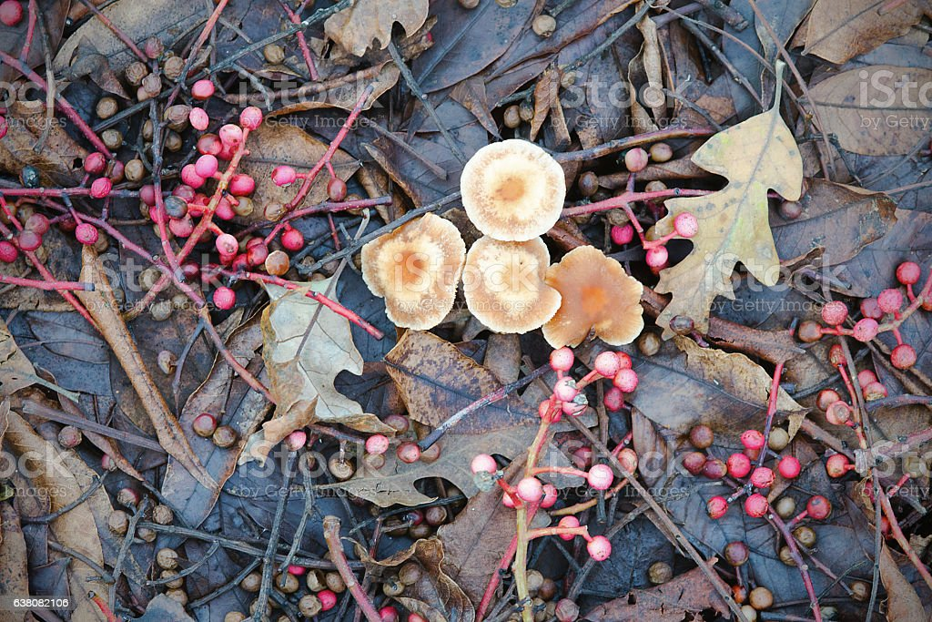 mushrooms and pepper tree berries on duff stock photo