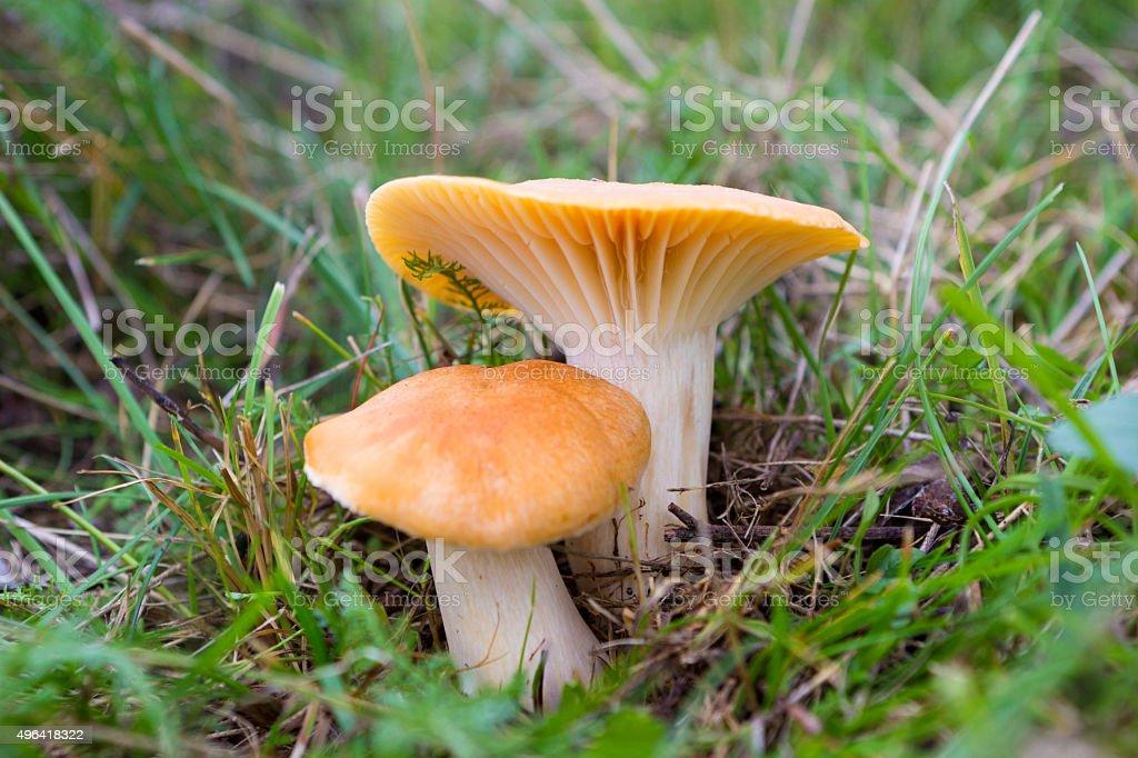 Mushrooms Cuphopyllus pratensis stock photo