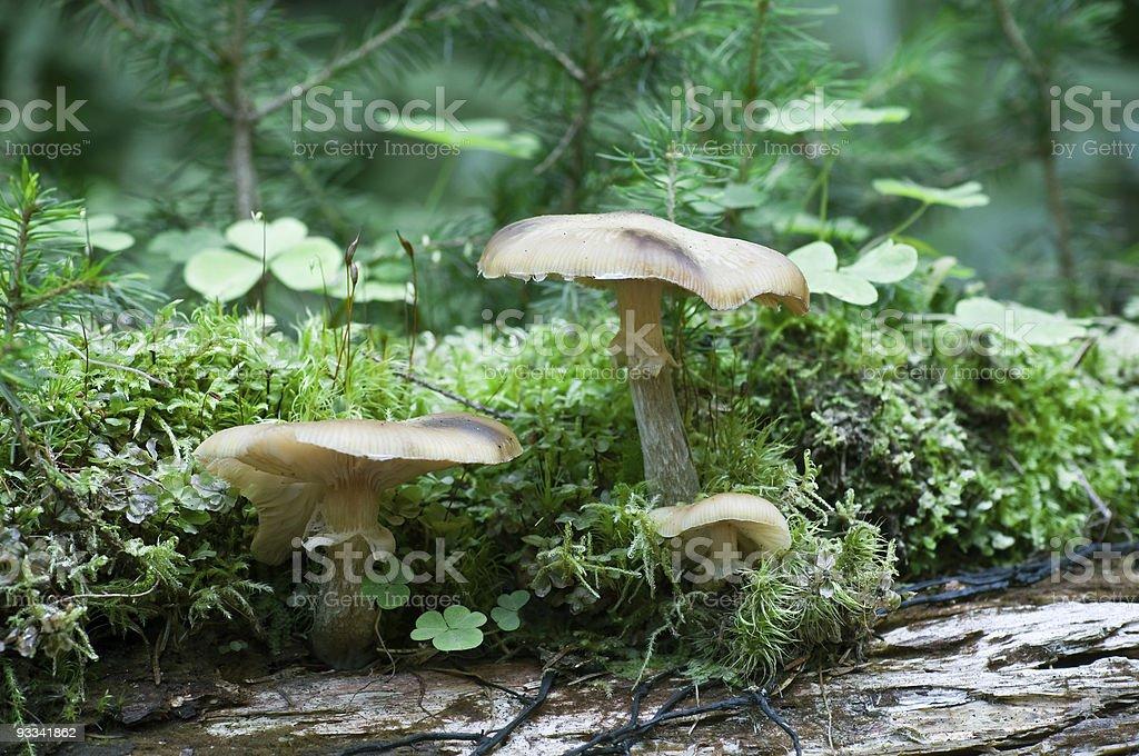 mushrooms family (Armillariella mellea) stock photo