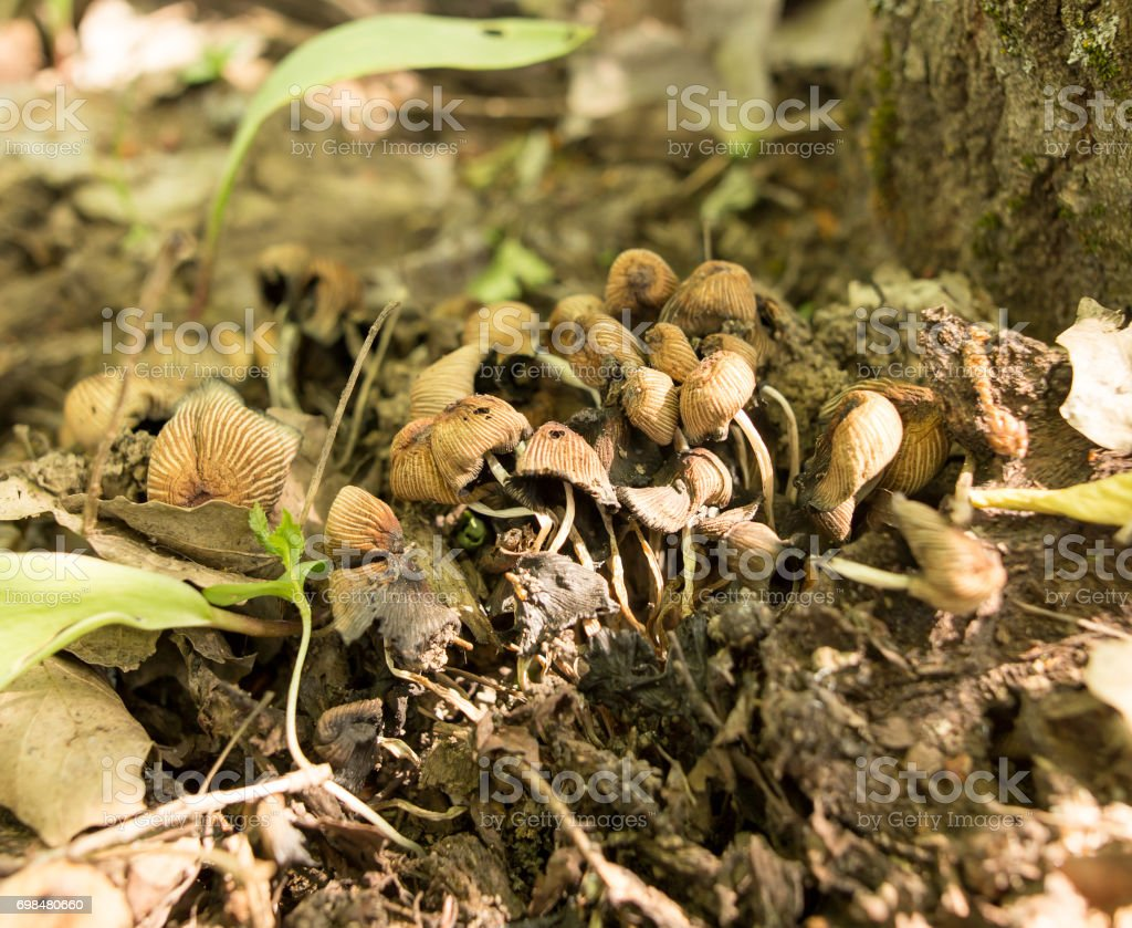 Mushrooms grebes in the woods in nature stock photo