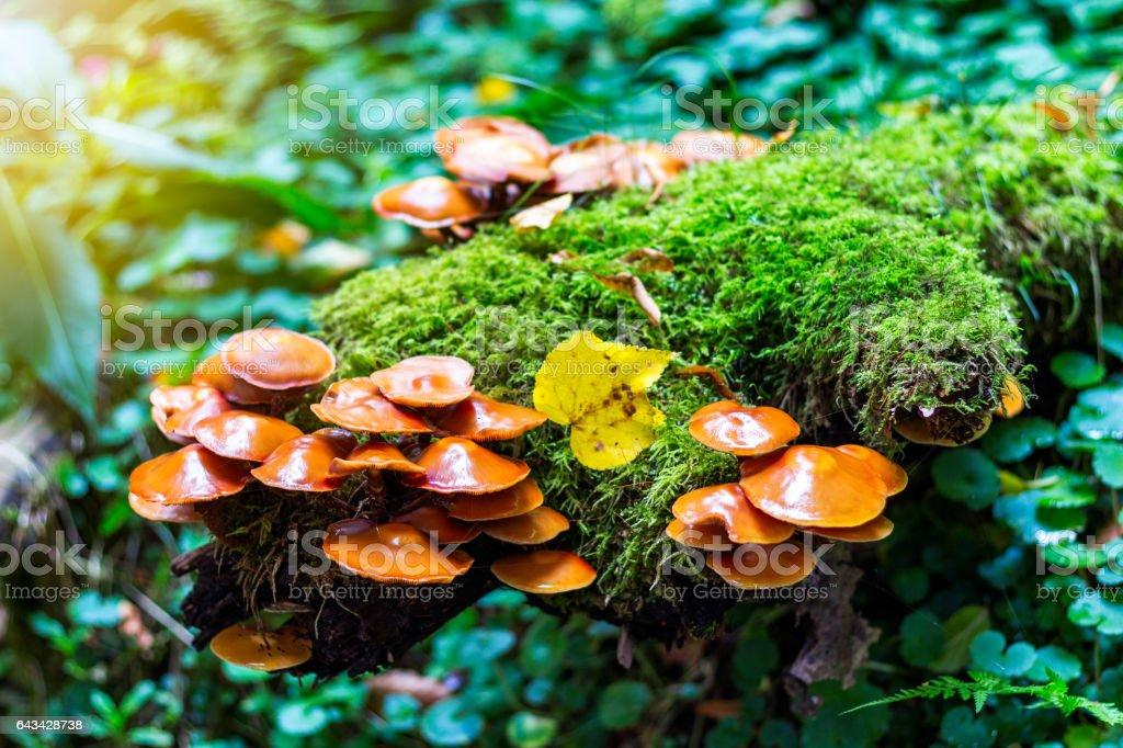 Mushrooms group (Kuehneromyces mutabilis) on a tree stump stock photo