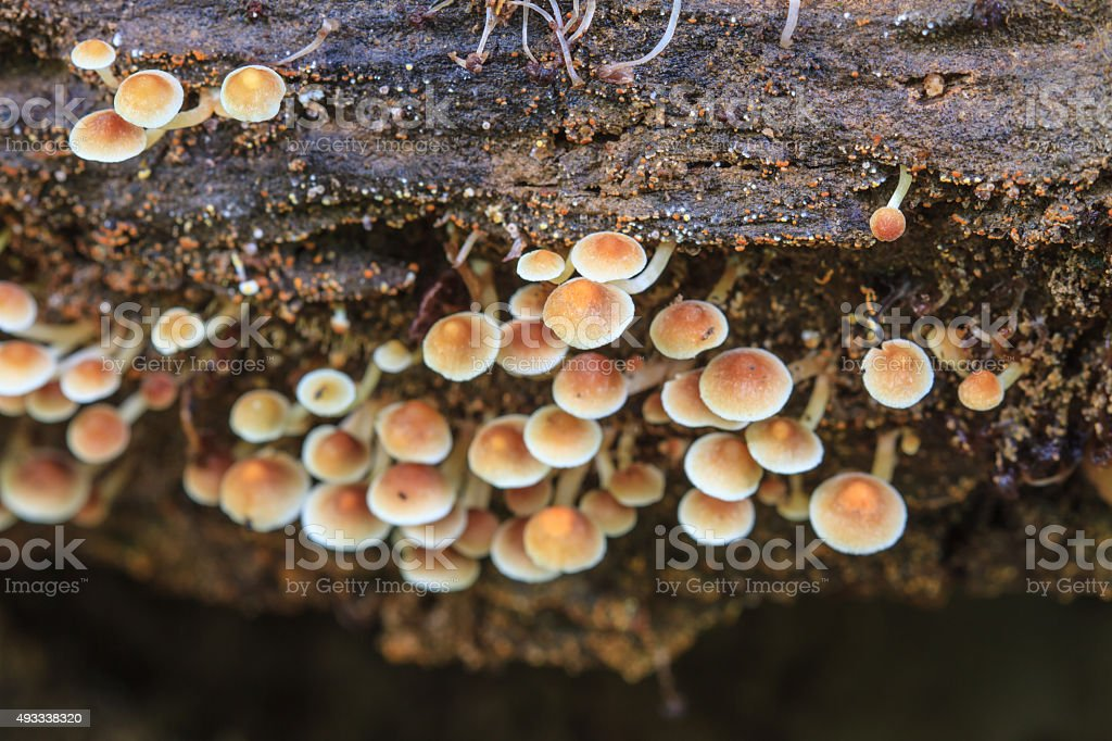 mushrooms growing on a live tree in the forest stock photo