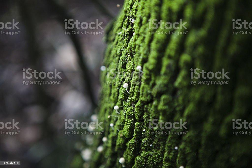 Mushrooms Growing on Tree Bark royalty-free stock photo