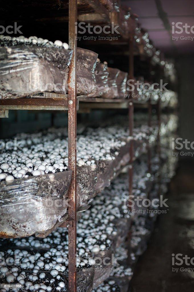 Mushrooms in greenhouse stock photo