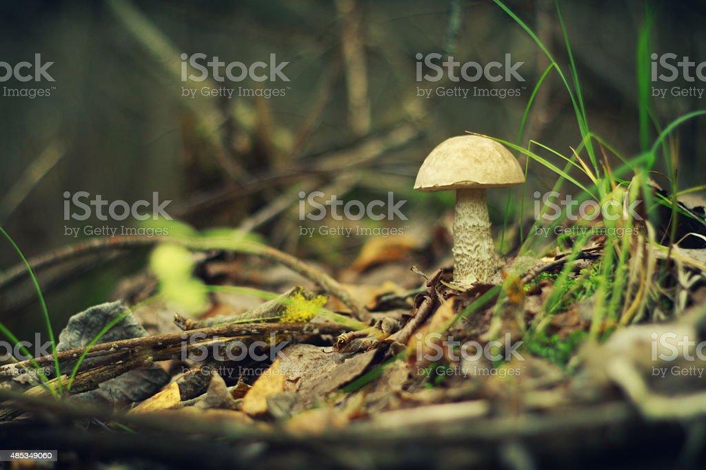 mushrooms in the forest orange cap boletus on the moss stock photo