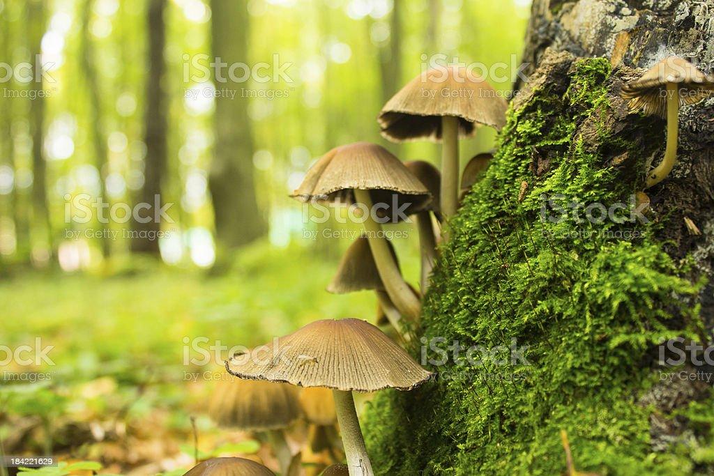 mushrooms near stump royalty-free stock photo