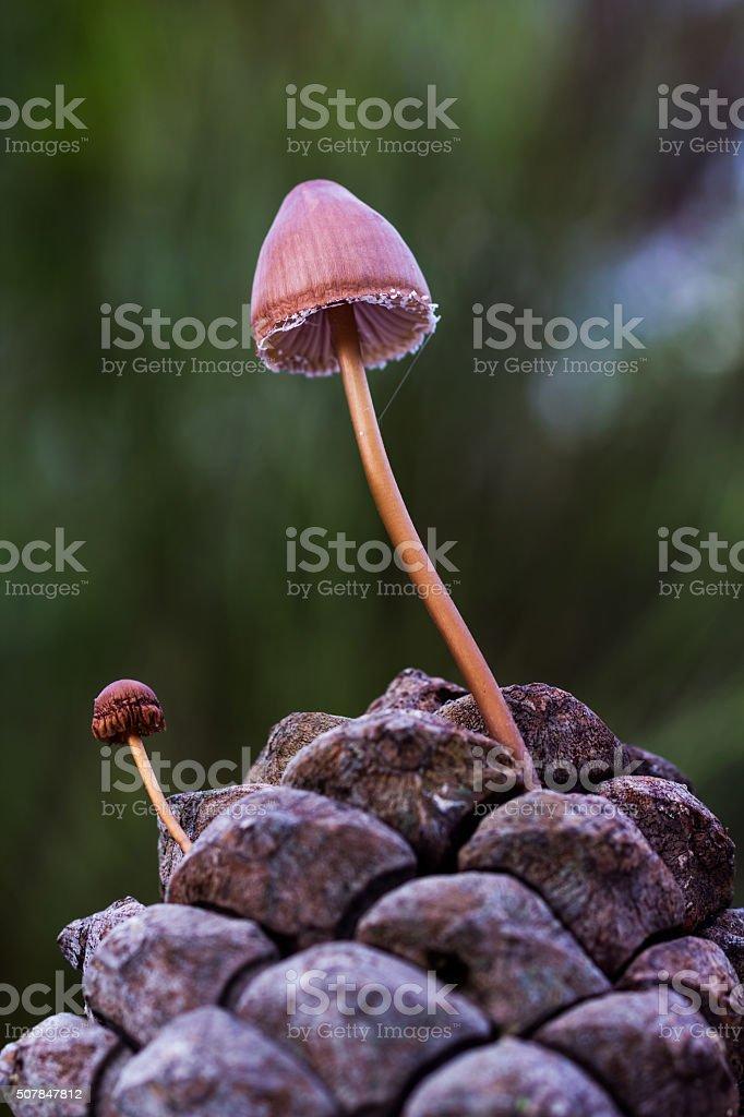 Mushrooms on a pine cone stock photo