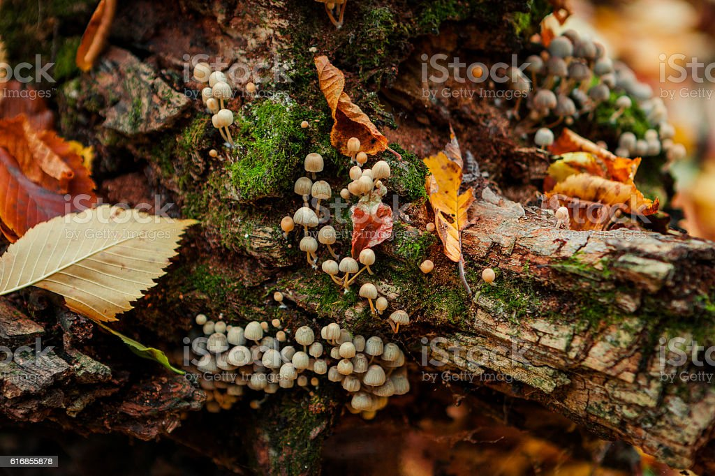 Mushrooms on an old tree stump close-up stock photo
