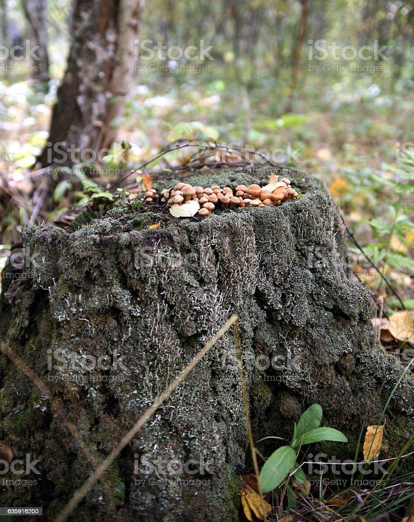 mushrooms on old stump stock photo