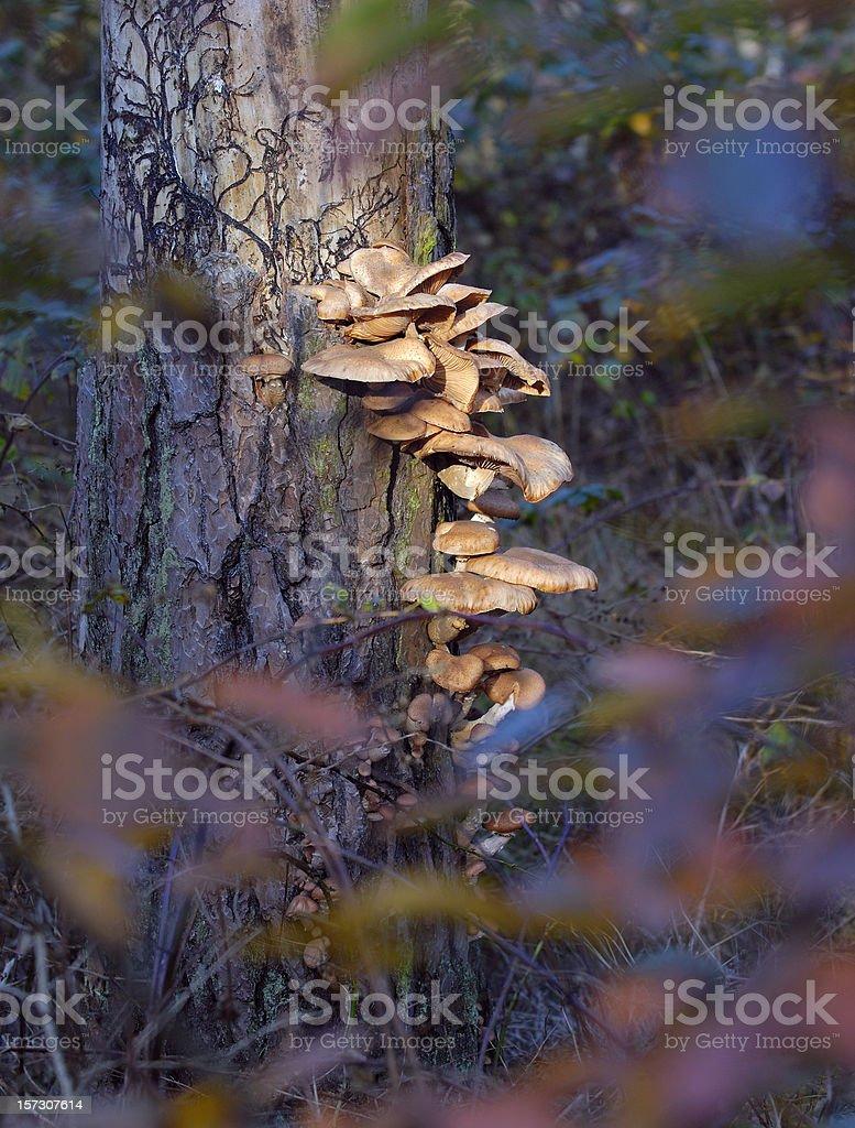 Mushrooms on pine tree. royalty-free stock photo