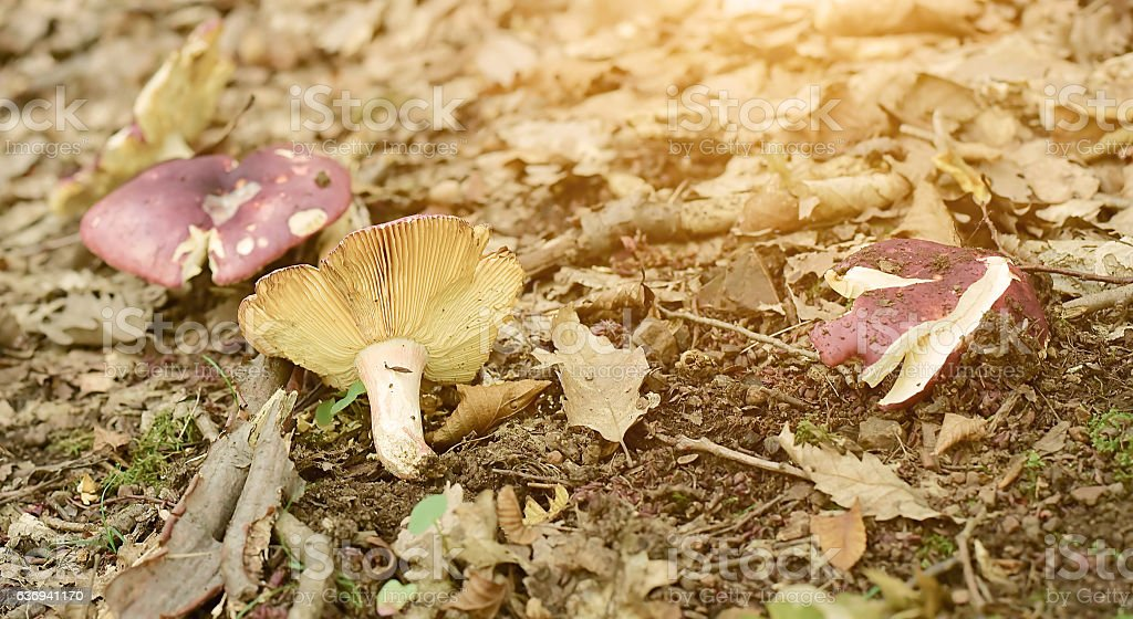 Mushrooms on the forest ground stock photo