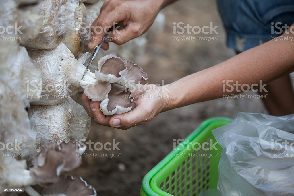 mushrooms on the hand in farm . stock photo