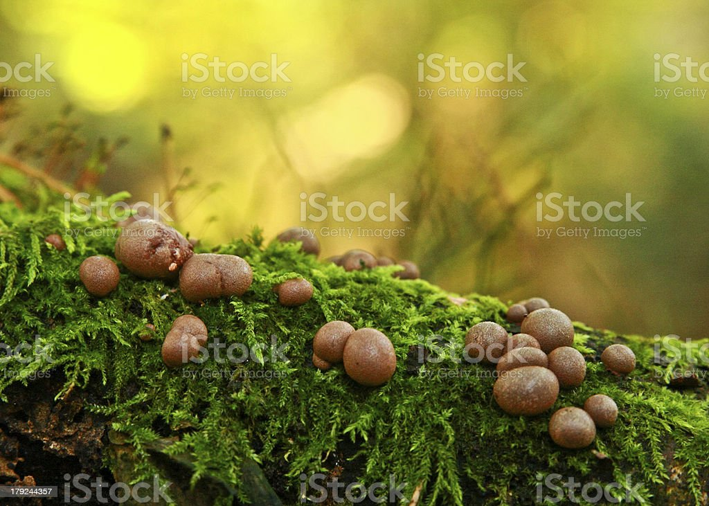 Mushrooms on the moss royalty-free stock photo
