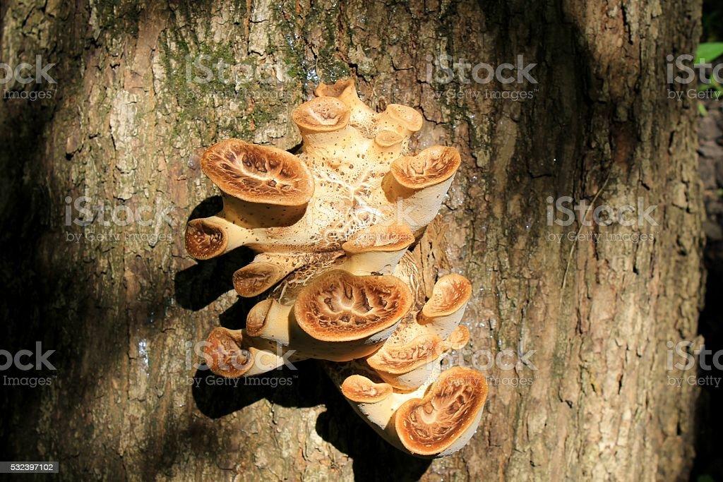 Mushrooms on the tree stock photo