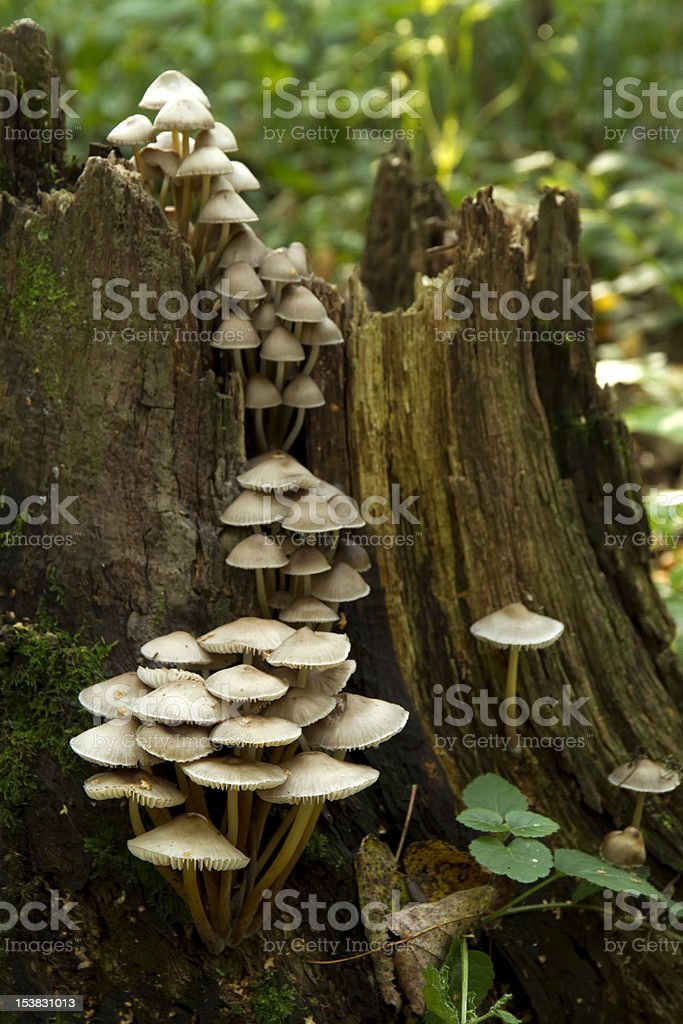 mushrooms on the tree stump royalty-free stock photo