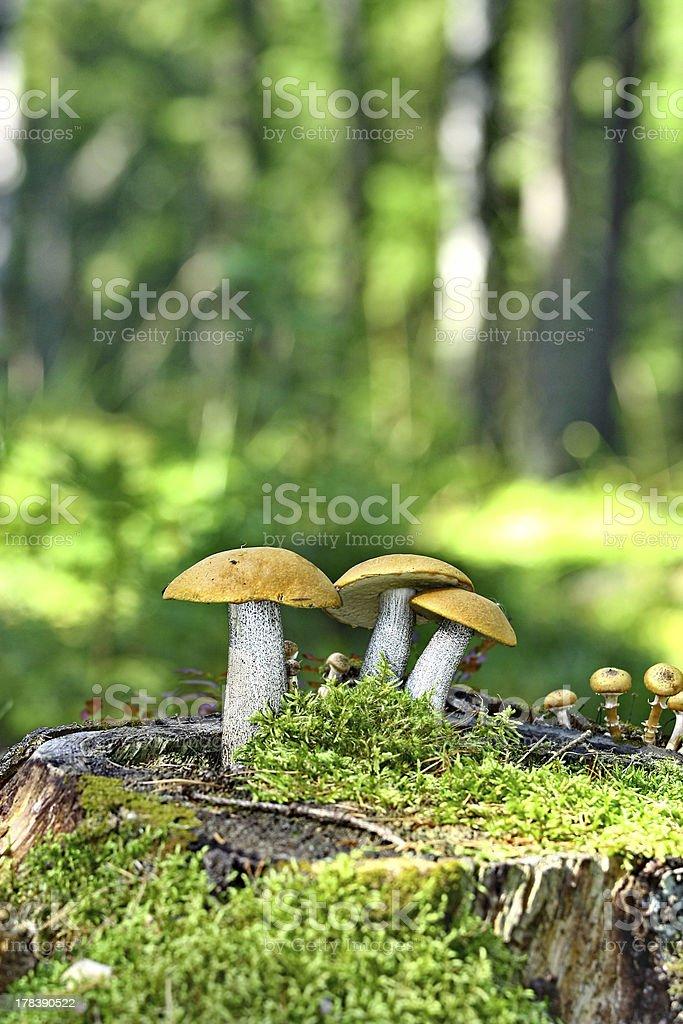 Mushrooms orange cap boletus on the moss stock photo