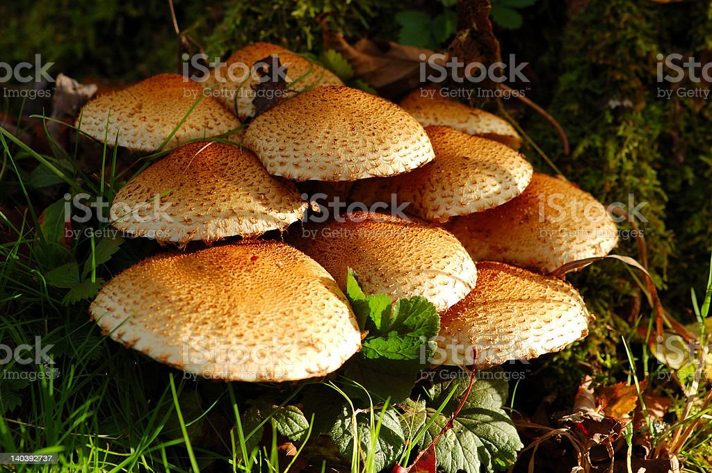 Mushrooms royalty-free stock photo