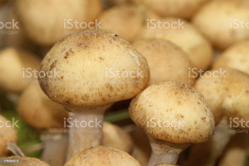 Mushrooms royalty-free stock photo