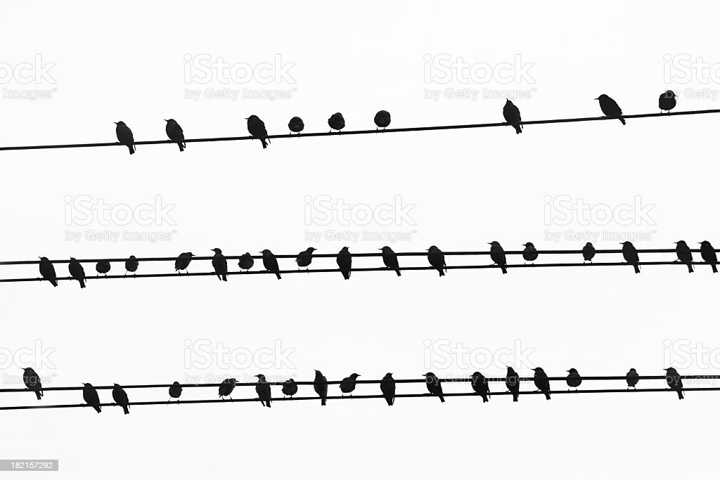 Lots of sparrows sitting on wires, black and white