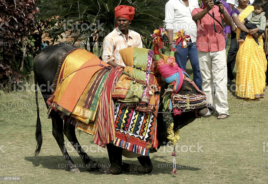 Musicians with decorated bull during pongal festival stock photo