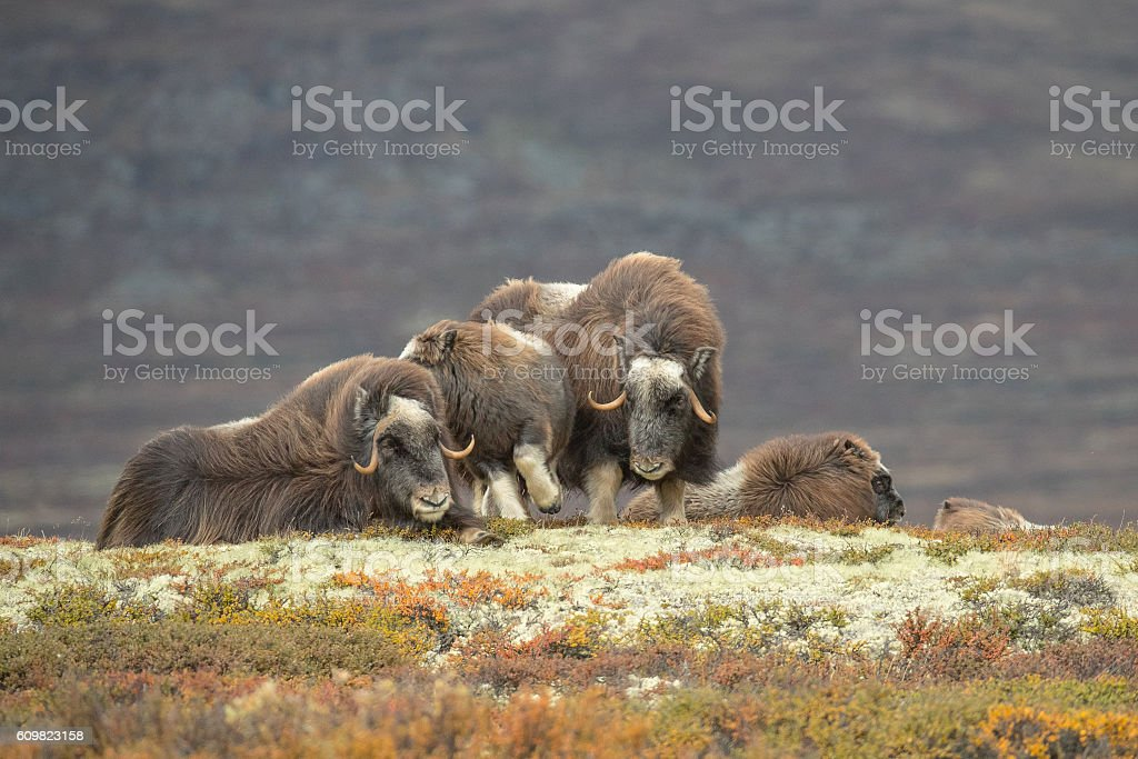 Musk Ox Family Group stock photo