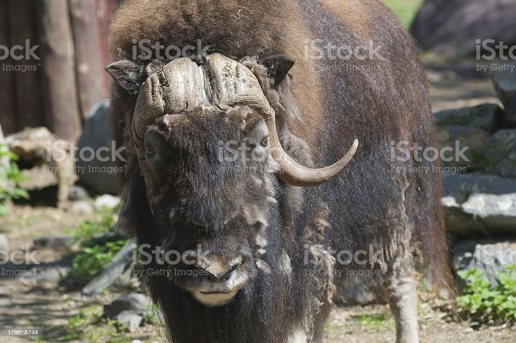 Musk ox royalty-free stock photo