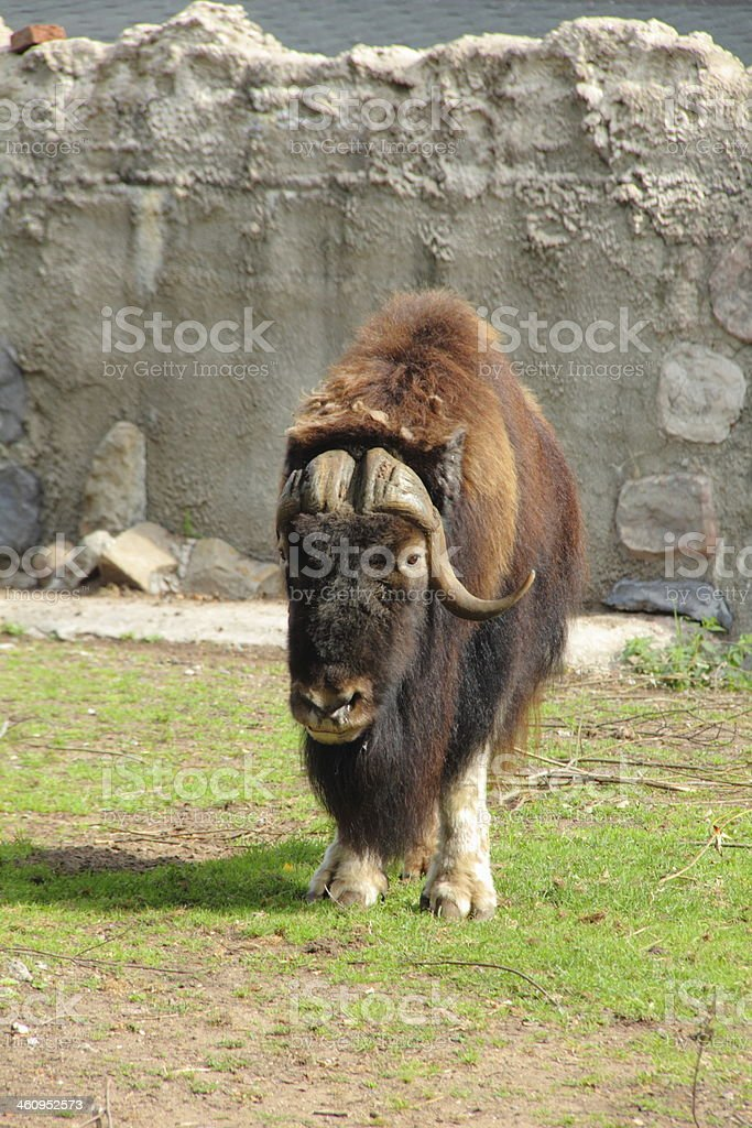 Musk ox. royalty-free stock photo