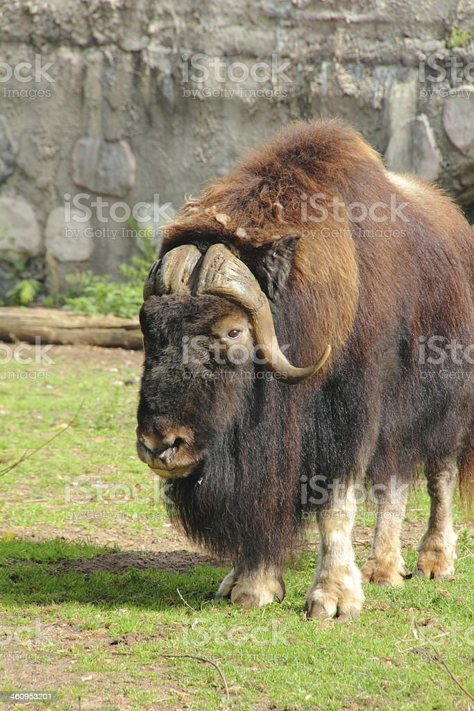 Musk ox. royalty-free stock photo