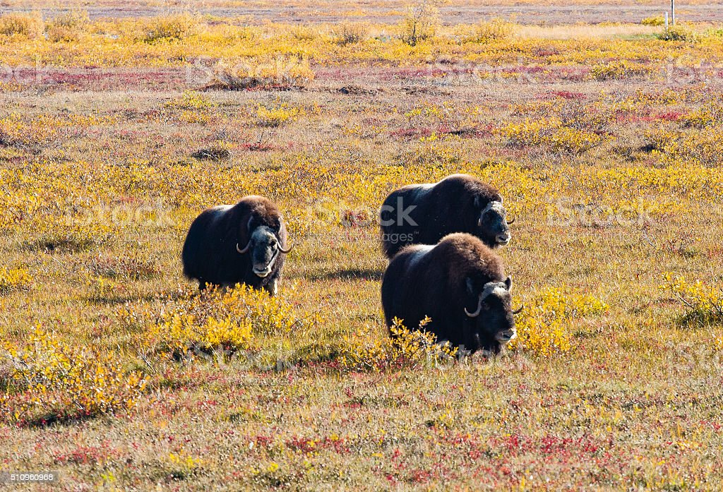 Musk oxen and fall colros stock photo