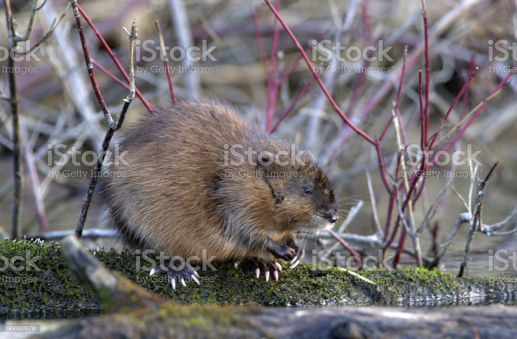 Muskrat on Mossy Log royalty-free stock photo