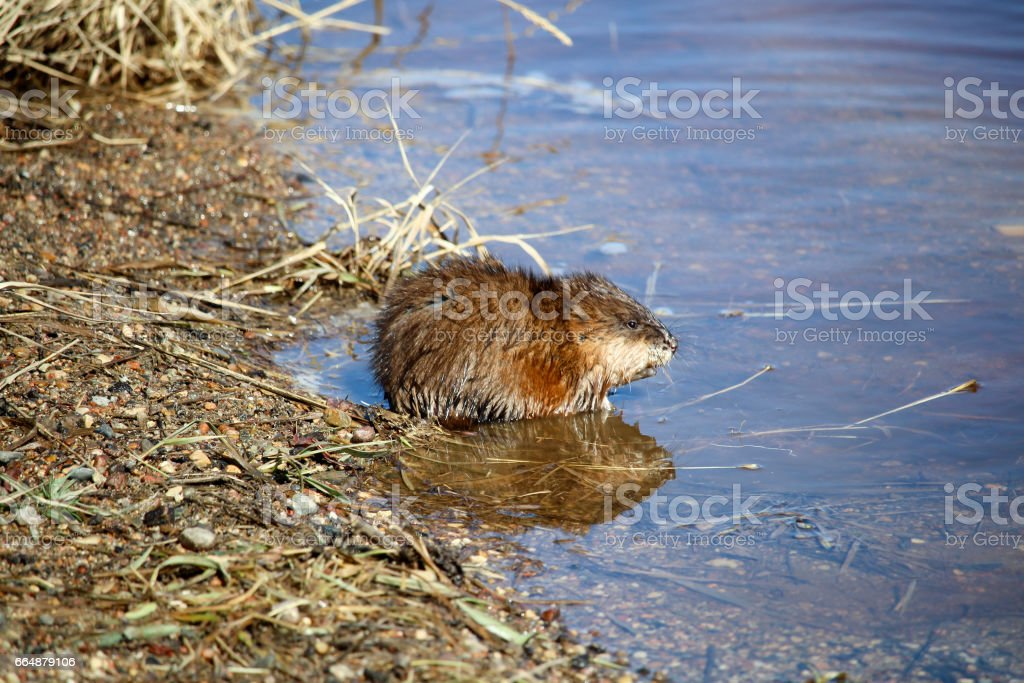 Muskrat sitting beside water in the morning stock photo