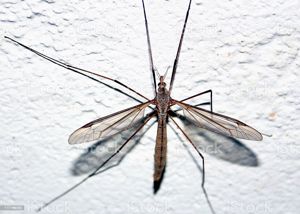 Musquito royalty-free stock photo